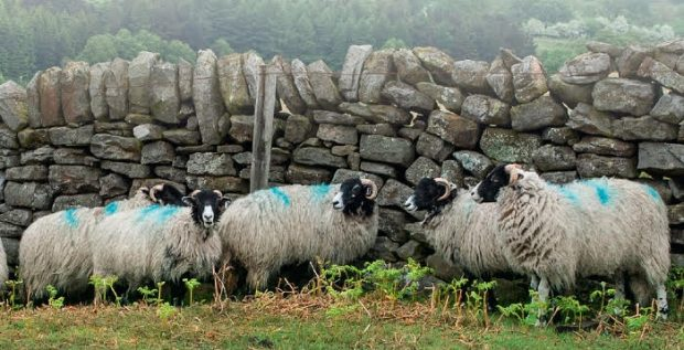 Sheep in front a stone wall